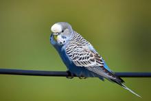Budgie Bird ( Melopsittacus Undulatus ) Sitting On A Wire