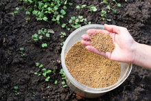 Young Girl's Hand Full Of Mustard Seeds Preparing To Sow On The Ground In The Vegetable Garden As A Fast Growing Green Manure And Effectively Suppress Weeds
