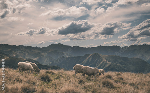 Photo sur Aluminium Vieux rose sheep in the French Pyrenees mountains