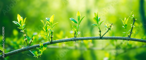 Fotografia  Fresh young green leaves of twig tree growing in spring
