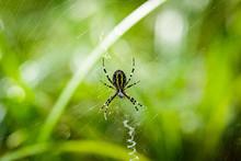 Wasp Spider (Argiope Bruennichi) In The Spider Net.