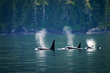 Three Orcas In A Row, Telegrap...
