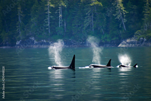 Obraz na plátně Three orcas in a row, telegraph cove at Vancouver island, British Columbia, Canada