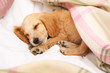 canvas print picture Cute English Cocker Spaniel puppy sleeping on bed
