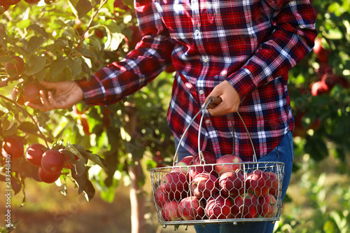 Valokuva Woman with basket picking ripe apple from tree in garden, closeup