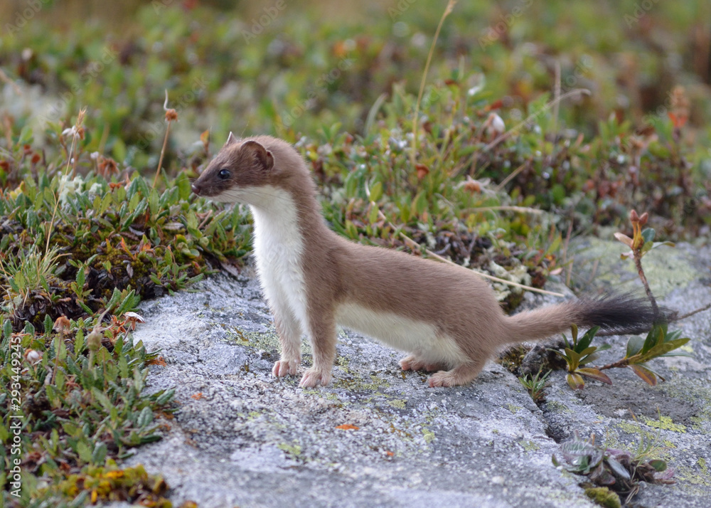 Fotografie, Obraz a lively ermine seen during a hike in the alps above the village of Aussois