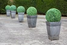 Buxus Topiary Planters