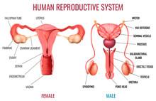 Realistic Human Reproductive S...