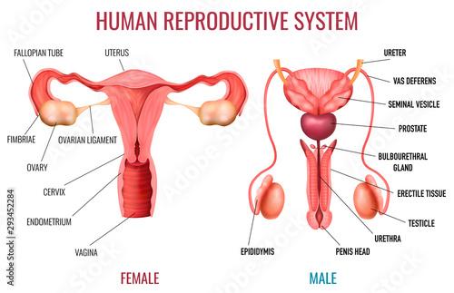 Realistic Human Reproductive System Fotobehang
