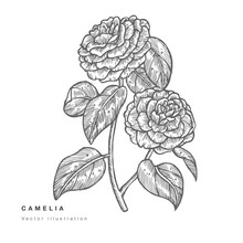 Hand Draw Vector Camelia Flowers Illustration. Floral Wreath. Botanical Floral Card On White Background.