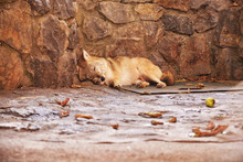 Stray Dog Is Resting By The Rock Wall