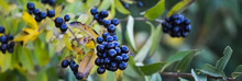 Wild Blue Berries On A Warm Sunny Autumn Day