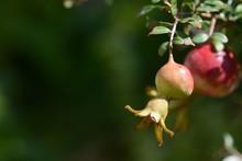 Fruit Of A Dwarf Pomegranate, ...