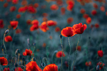 Close-up Of Fresh Poppy Flowers On Field During Sunset
