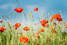 Close-up Of Fresh Poppy Flower...