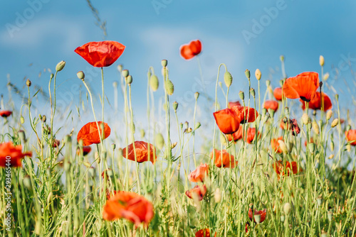 Close-up of fresh poppy flowers blooming on field against sky during sunny day - 293465440
