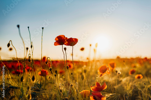 Close-up of fresh poppy flowers blooming on field against sky during sunset