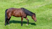 A Chestnut Colored Horse Grazing In A Field