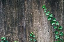 Leafy Ivy Vine Creeping Up Anc...