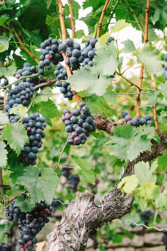 Trollinger red wine grape clusters ripen on leafy vines in German Baden-Württemberg winery vineyard
