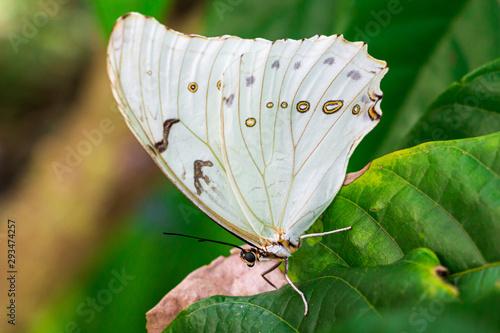 White morpho butterfly (Morpho polyphemus) closeup Canvas Print