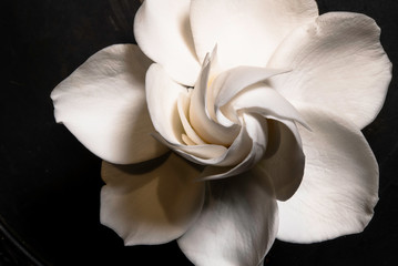 Fototapeta Minimalistyczny Gardenia Flower in Full Bloom High Resolution