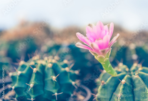 Fotobehang Bloemenwinkel Pink purple flower of cactus in the cactus farm.