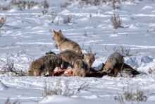 Coyotes Fiesting On Bison
