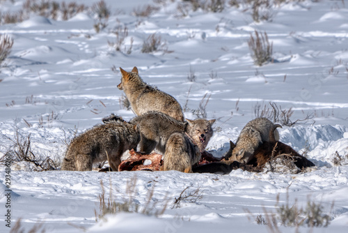 Fotografie, Tablou Coyotes Fiesting On Bison