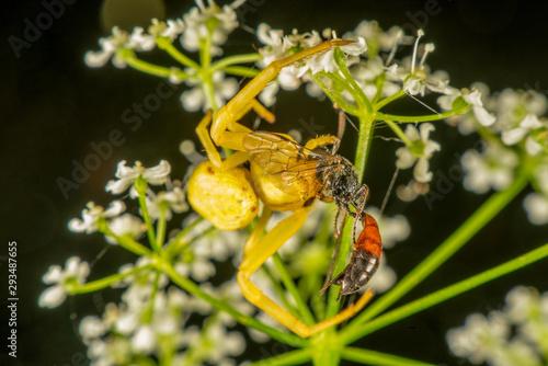 Photo Yellow crab spider