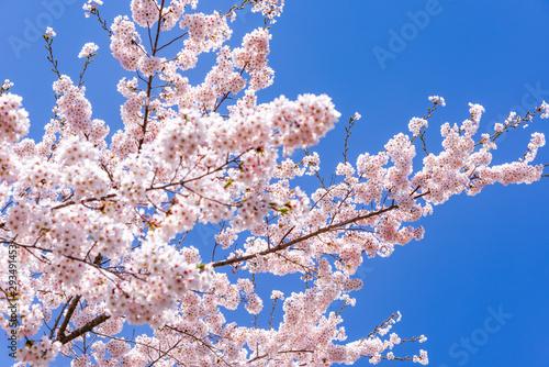 Obraz na plátně  宮城県北部の加護坊山 桜満開