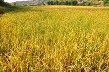 Mature Harvest Of Golden Rice ...