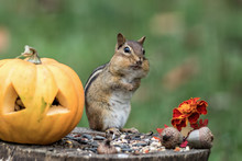 Adorable Eastern Chipmunk (Tamias Striatus) Gathers Seeds In Fall Next To Pumpkin