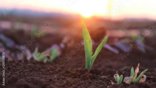 Fototapeta  Corn seedlings with sunlight Thailand