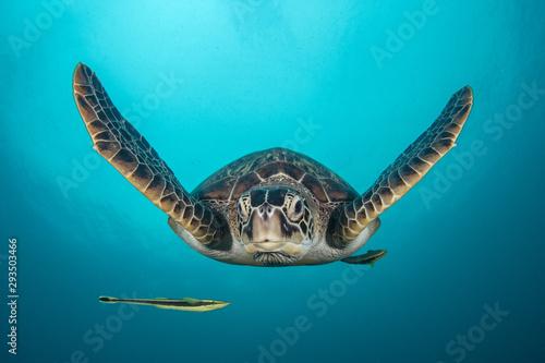 In de dag Schildpad Green Turtle