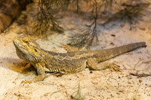 Central Bearded Dragon (Pogana...