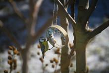 Eurasian Blue Tit (Cyanistes Caeruleus) Feeding On Ring-shaped Suet Cake For Tits During Winter