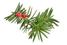Taxus Baccata Known As Yew, English Yew Or European Yew. Isolated On White Background