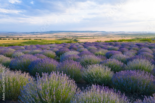 Fototapeta Blooming lavender field in the Alazani Valley, Kakheti, Georgia country. Summer 2019 obraz na płótnie