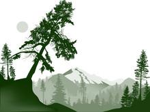 Large Pine Tree In Green Mount...