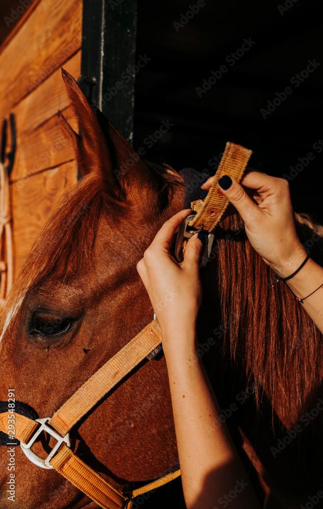 Fototapeta Crop rider setting bridle on horse