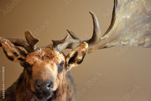 Fotografie, Obraz  portrait élan cerf renne caribou cervidé préhistoire