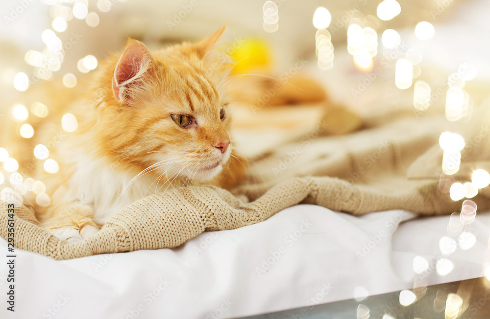 Fototapeta pets and hygge concept - red tabby cat lying on blanket at home in winter
