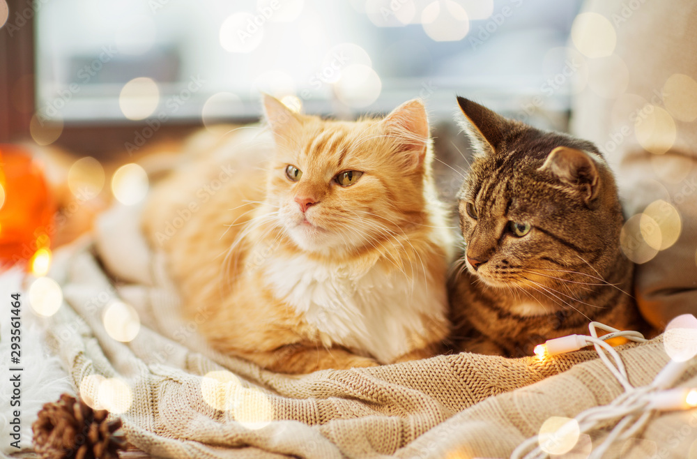 Fototapeta pets, christmas and hygge concept - two cats lying on window sill with blanket at home