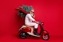 Full Size Profile Side Photo Of Cheerful Pensioner On Motorcycle Carry Fir Tree Travel Hurry To Christmastime Wear Sweater Pants Isolated Over Red Background