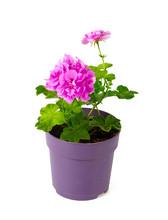 Violet Geranium Flower Isolate...
