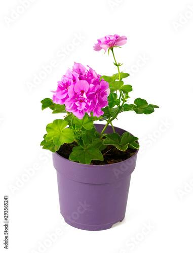 Fotografie, Obraz violet geranium flower isolated on white
