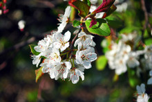 Wild Plum Tree Blossom Close Up Detail On Blurry Green Leaves Background