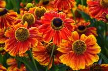 Bunch Of Helenium Autumnale Fl...