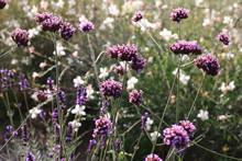 Purple Verbena Bonariensis Tin...